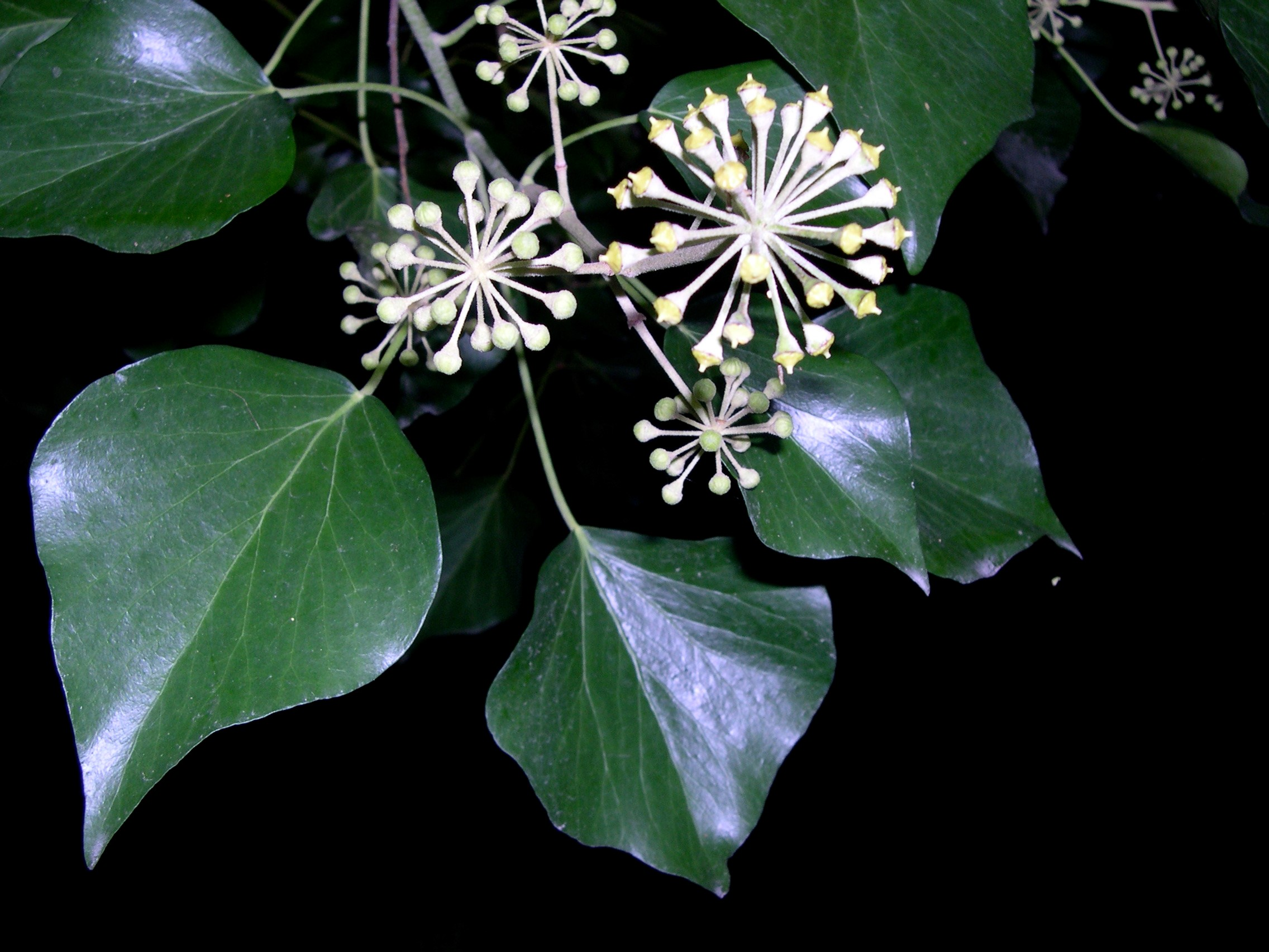 Mature English Ivy (Amelie Rosseau, EFlora)