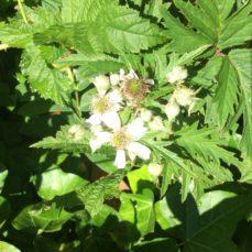 Cutleaf Evergreen Blackberry (SSISC)