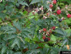 Cutleaf Evergreen Blackberry