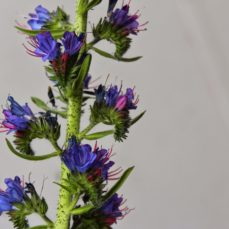 Blueweed (SSISC)