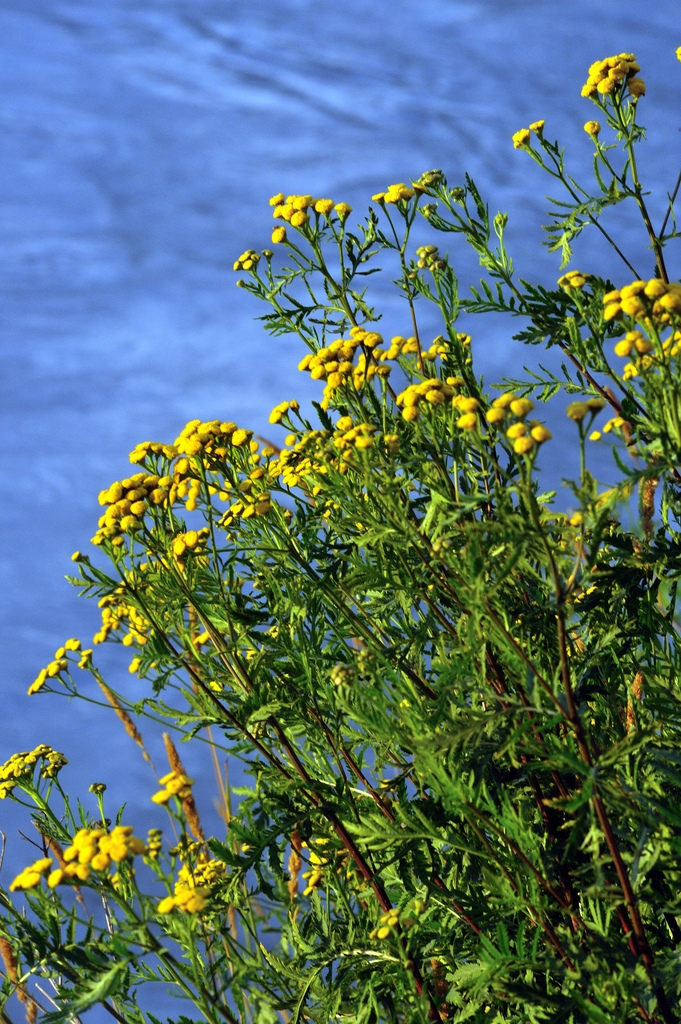 Common Tansy (D.Steers)