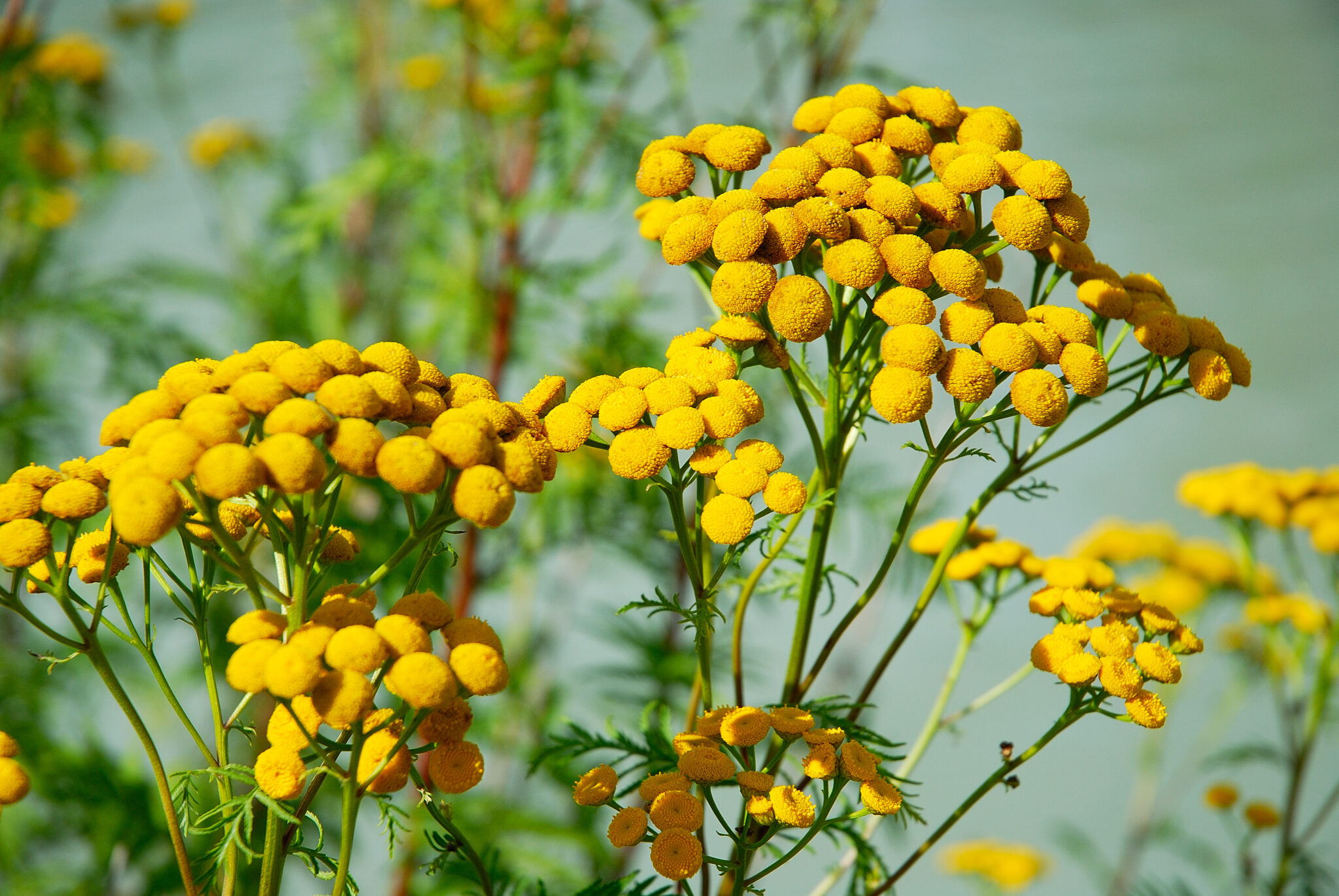 Common Tansy (D. Steers)