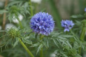 Blue Thimble Flower (Gilia capitata)