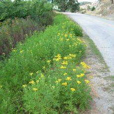 Common Tansy roadside (L. Scott)