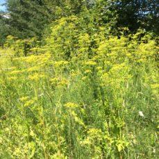 Wild Parsnip (Pastinaca sativa)