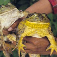 Bullfrog (S. Price)