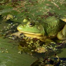 Bullfrog (ruthie62)
