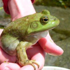 bullfrog (E. Wind)