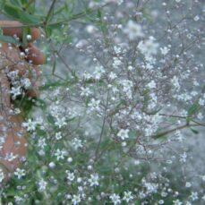 Baby's Breath (J. Hallworth)