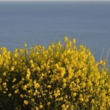 Spanish broom (from Canva)
