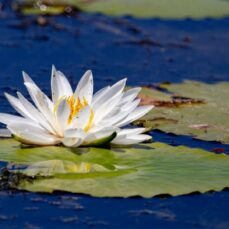 Fragrant Water Lily (image from Canva) 1