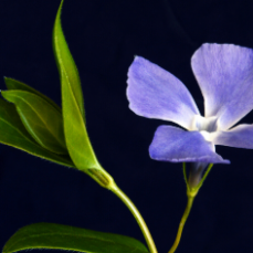 Common (small) Periwinkle from Canva 5