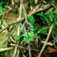 Common Dead-Nettle John D. Byrd, Mississippi State University, Bugwood.org