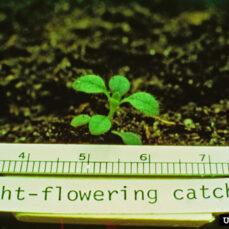 Night-Flowering Catchfly John D. Byrd, Mississippi State University, Bugwood.org