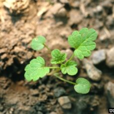 Common Dead-Nettle Steve Dewey, Utah State University, Bugwood.org