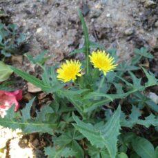 Photo courtesy of Jesse Rorabaugh and Berkeley, California: The Calflora Database