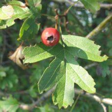 English Hawthorn berry Piero Amorati, ICCroce - Casalecchio di Reno, Bugwood.org