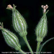 Night-Flowering Catchfly Joseph M. DiTomaso, University of California - Davis, Bugwood.org