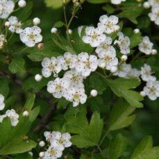English Hawthorn flowers Robert Vidéki, Doronicum Kft., Bugwood.org