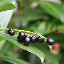 Cherry Laurel berries on branch (from Canva)