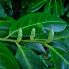 Cherry Laurel flower buds (from Canva)