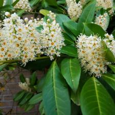 Cherry Laurel floweres full bloom (from Canva)