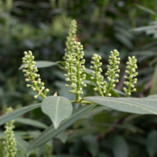 Cherry Laurel flowers (from Canva)