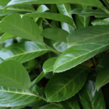 Cherry Laurel leaves (from Canva)
