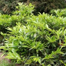 Cherry laurel bush (Robert Videki, Doronicum Kft., Bugwood.org)