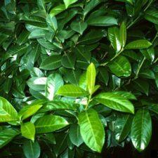 Cherry laurel leaves (John Ruter, University of Georgia, Bugwood.org)