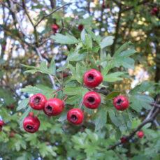 English Hawthorn Fruit (J.P Grandmont)