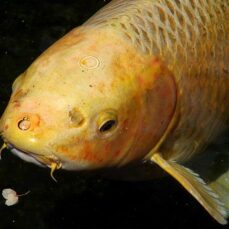 Koi have barbels, whereas Goldfis