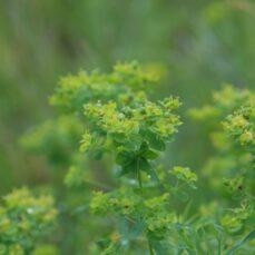 Leafy Spurge (Chris Evans, University of Illinois, Bugwood.org)
