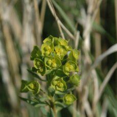 Leafy Spurge (Chris Evans, University of Illinois, Bugwood.org) 3
