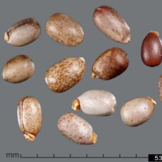 Leafy Spurge Seeds (Julia Scher, Federal Noxious Weeds Disseminules, USDA APHIS PPQ, Bugwood.org)