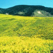 Leafy Spurge (Utah State University , Bugwood.org)