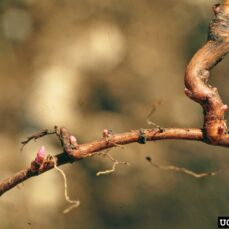 Leafy Spurge dried branch (Steve Dewey, Utah State University, Bugwood.org)