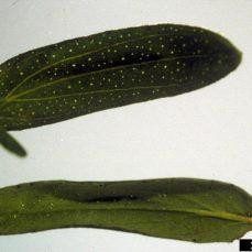 Common St. John's Wort leaf close-up