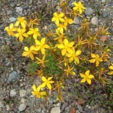 Common St. John's Wort in flower 2