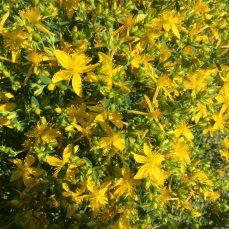 Common St. John's Wort in flower
