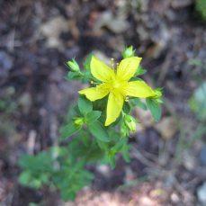 St. John's wort flower close up