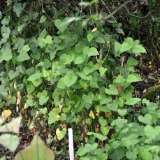 Garlic Mustard full plant